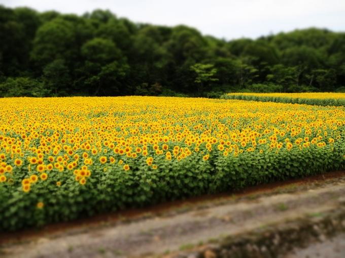 北竜町のひまわり畑